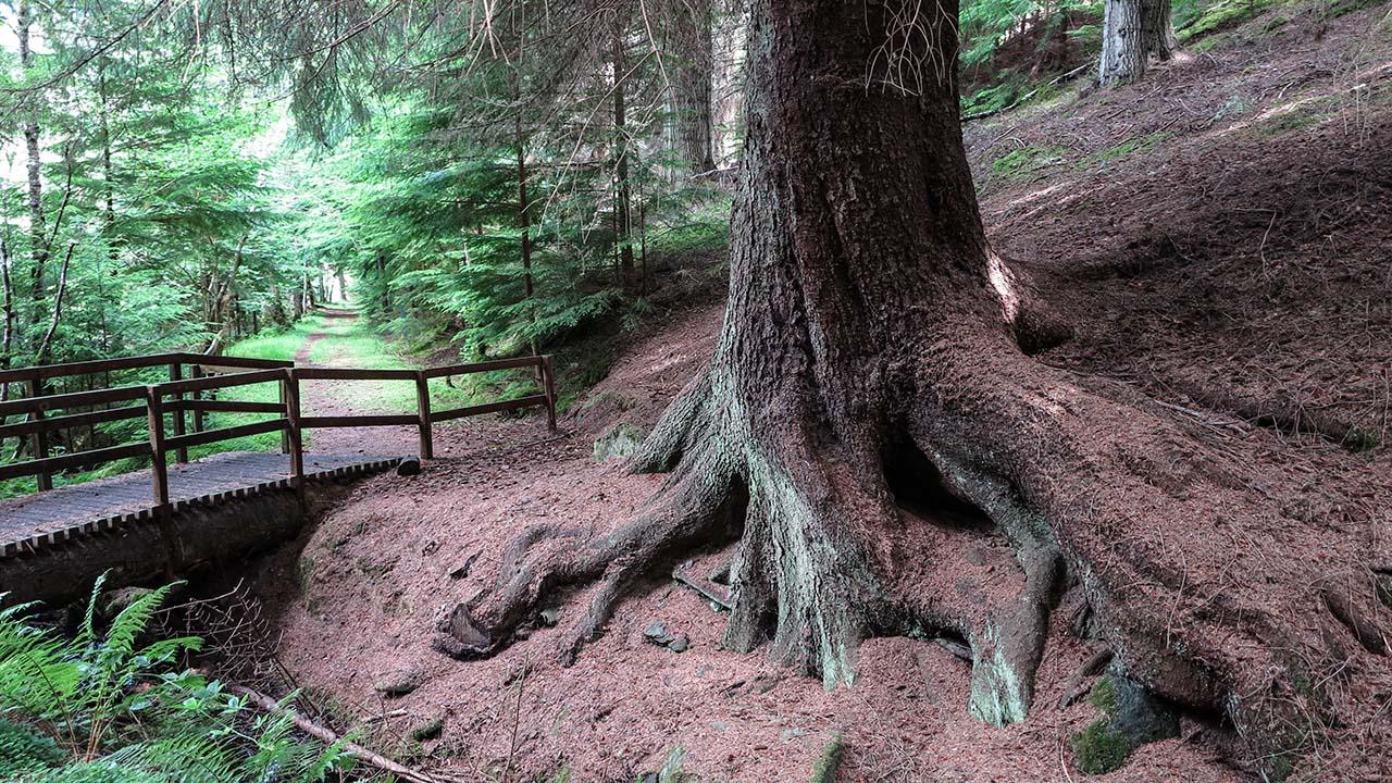 Mocný skotská strom