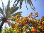 Pomeranče na Mallorce :-)